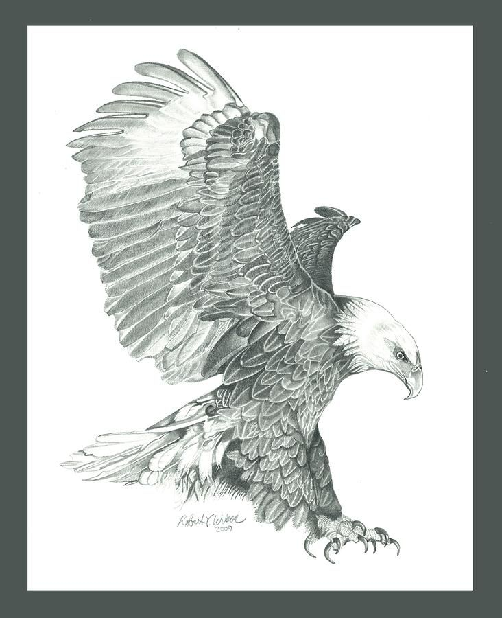 Bald Eagle Drawings | Bald Eagle In A Dive Drawing | aguila ...
