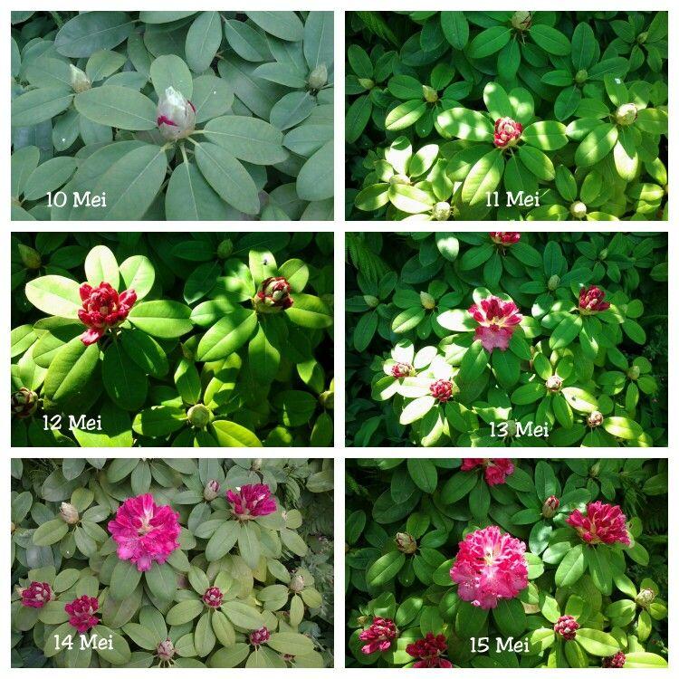 1 week Rododendron. Credits Riandesign