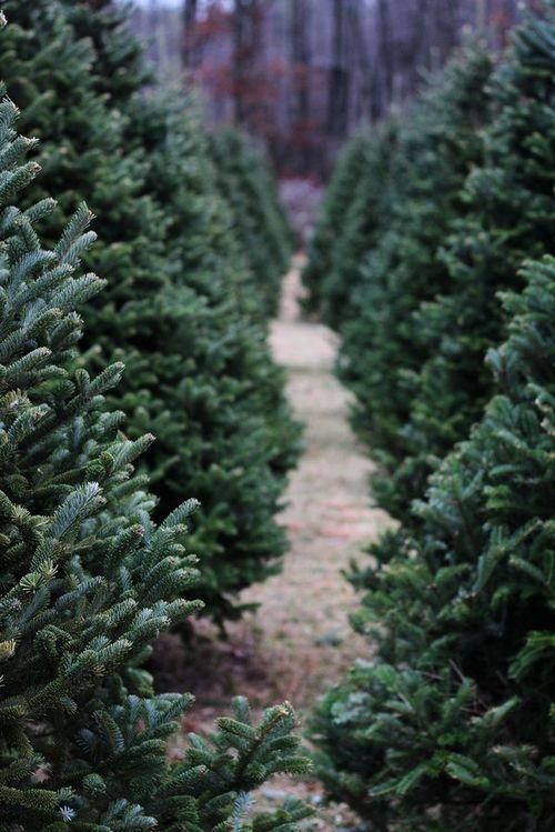 Snowychocolade Cozy Blog Zsazsa Bellagio Christmas Tree Care Christmas Tree Farm Real Christmas Tree