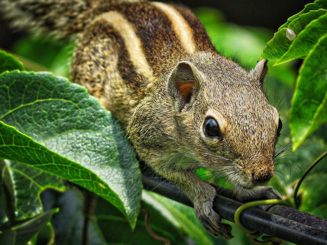 Common Sri Lankan Squirrel Funambulus Palmarum Geotagged Indian Palm Squirrel Squirrel Sri Lanka Squirrel Indian Palm Squirrel Kawaii Animals