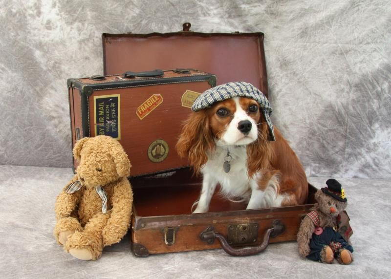 Adopt Cody 1 Year Old Adoption Pending On Spaniel Dog