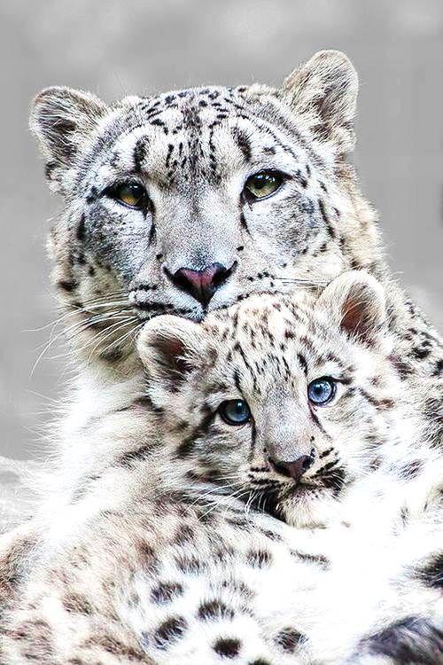 El leopardo de las nieves o irbis es una especie de mamífero ...