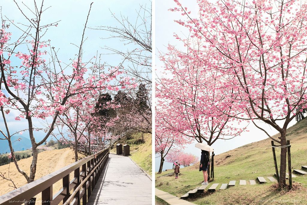 Cingjing Farm Taiwan Cherry Blossom Path Farm Solo Travel Green Pasture