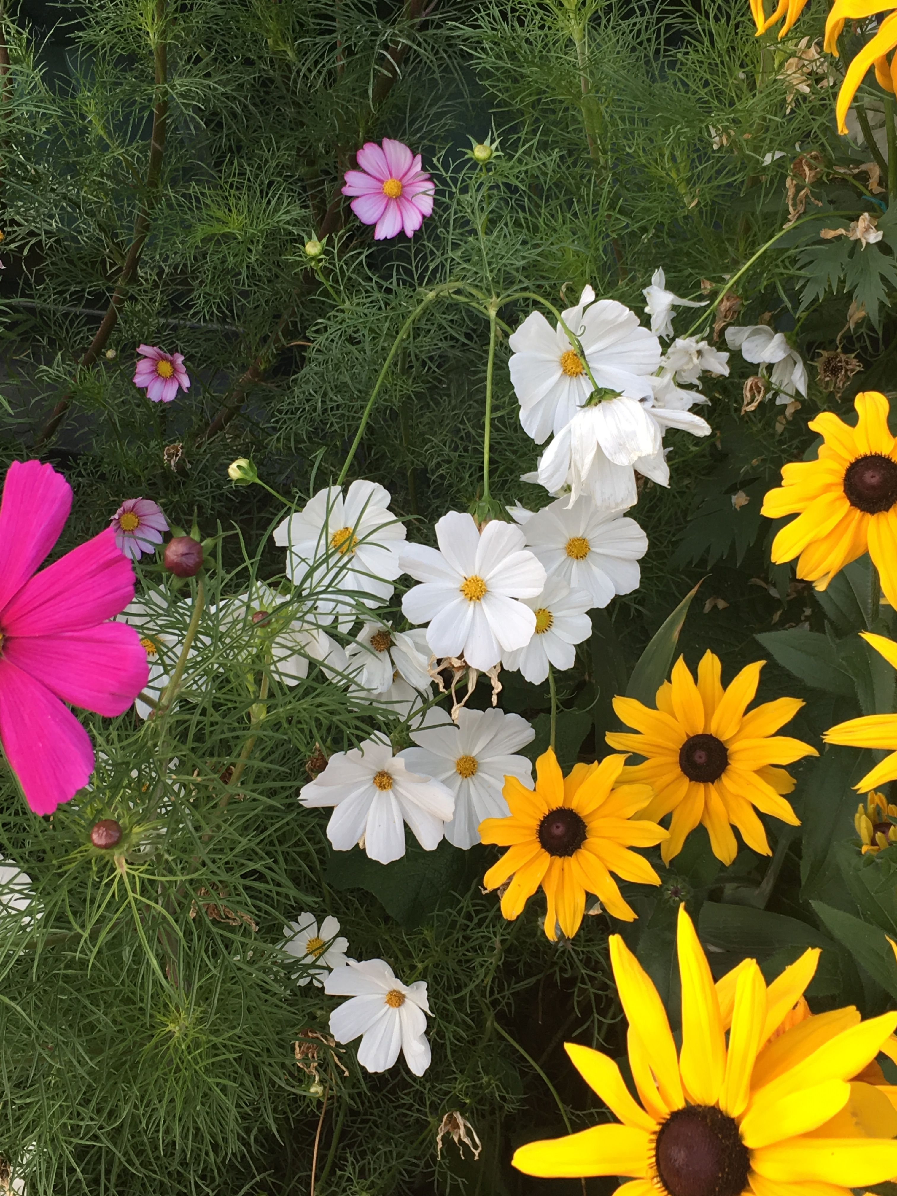 Pin By Aj Andy On Cosmos Flowers Pinterest Flowers Perennials