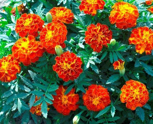 marigold seeds for sale buy bulk marigold flower seeds at eden brothers