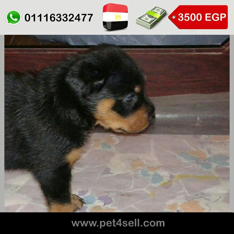 Egypt Giza Rottweiler Puppies For Sale 37 Days Old Now 30 Days