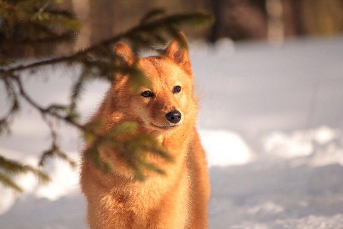 finnish spitz | life of animals finnish spitz finnish spitz of selectively bred spitz ...