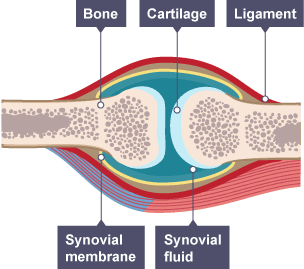 Synovial joint featuring bone cartilage ligament synovial study the functions of the human skeleton and muscular systems with bbc bitesize science ccuart Image collections
