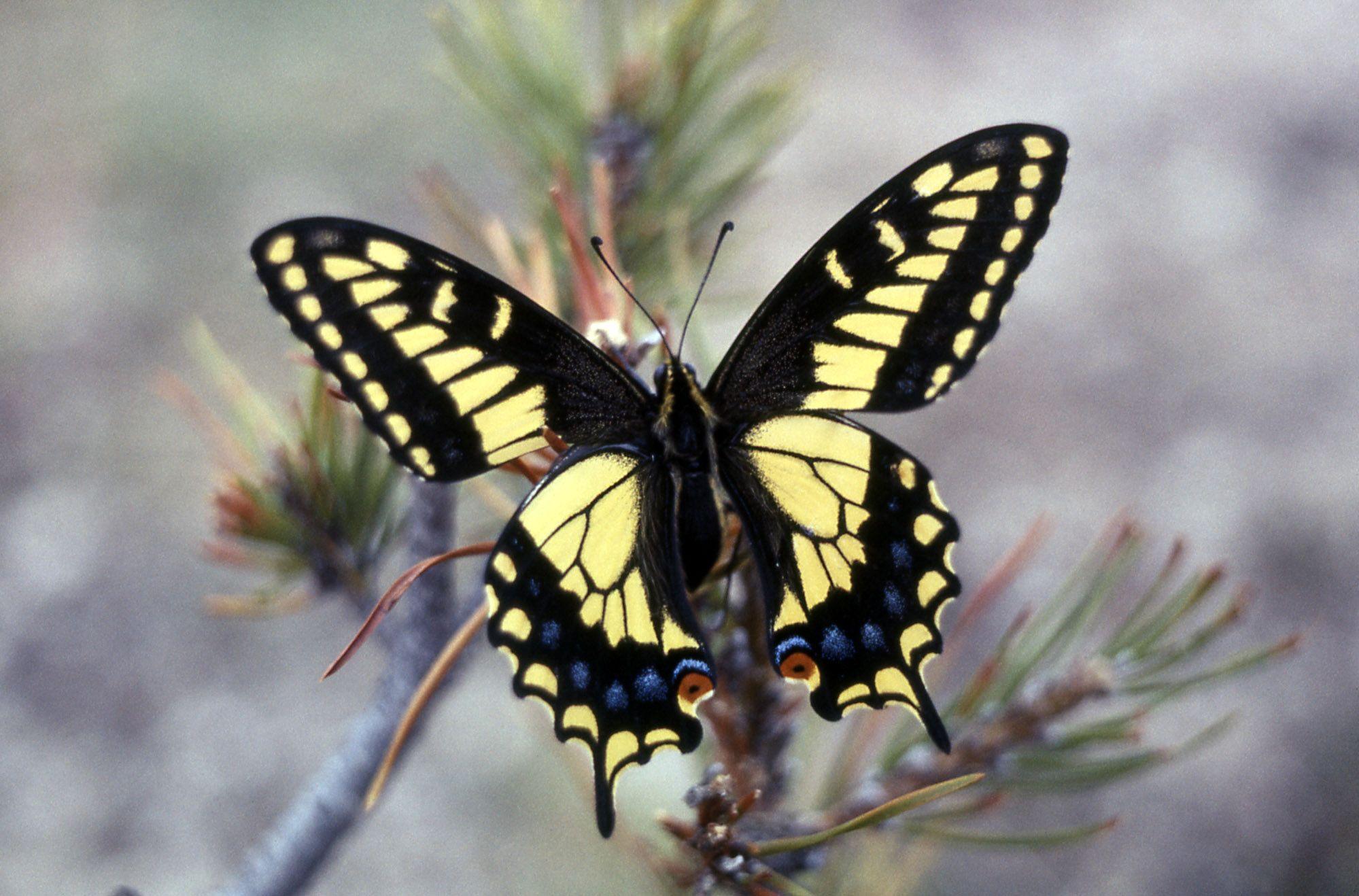 papilio zelicaon google keresés pillangó butterfly pinterest