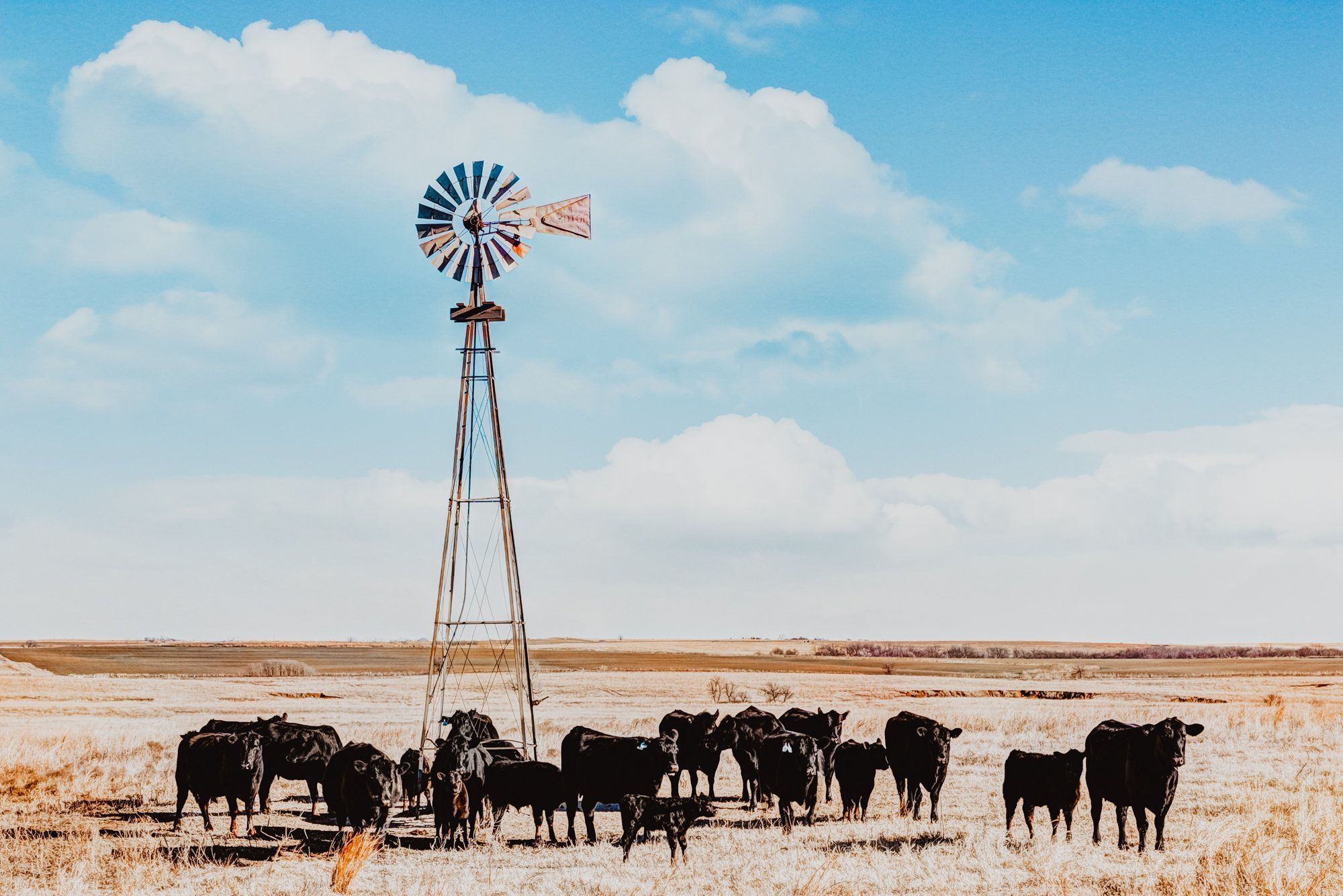 Black Angus Cattle Windmill Canvas Print Or Photo Print Etsy In 2021 Western Photography Western Wall Art Country Backgrounds