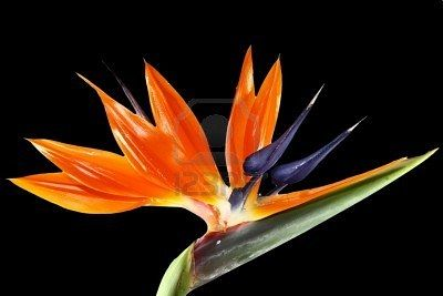 Bird Of Paradice Birds Of Paradise Birds Of Paradise Flower Trees To Plant