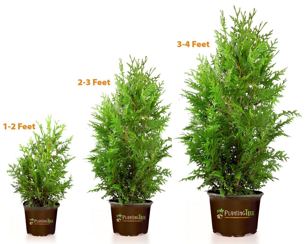 Thuja Green Giant In 2020 Thuja Green Giant Green Giant Tree Giant Arborvitae