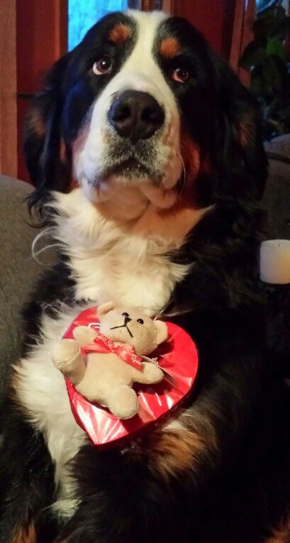 Happy Valentines Day From Venus Our Goddess Of Love Bernese Mountain Dog Great Swiss Mountain Dog Dog Love