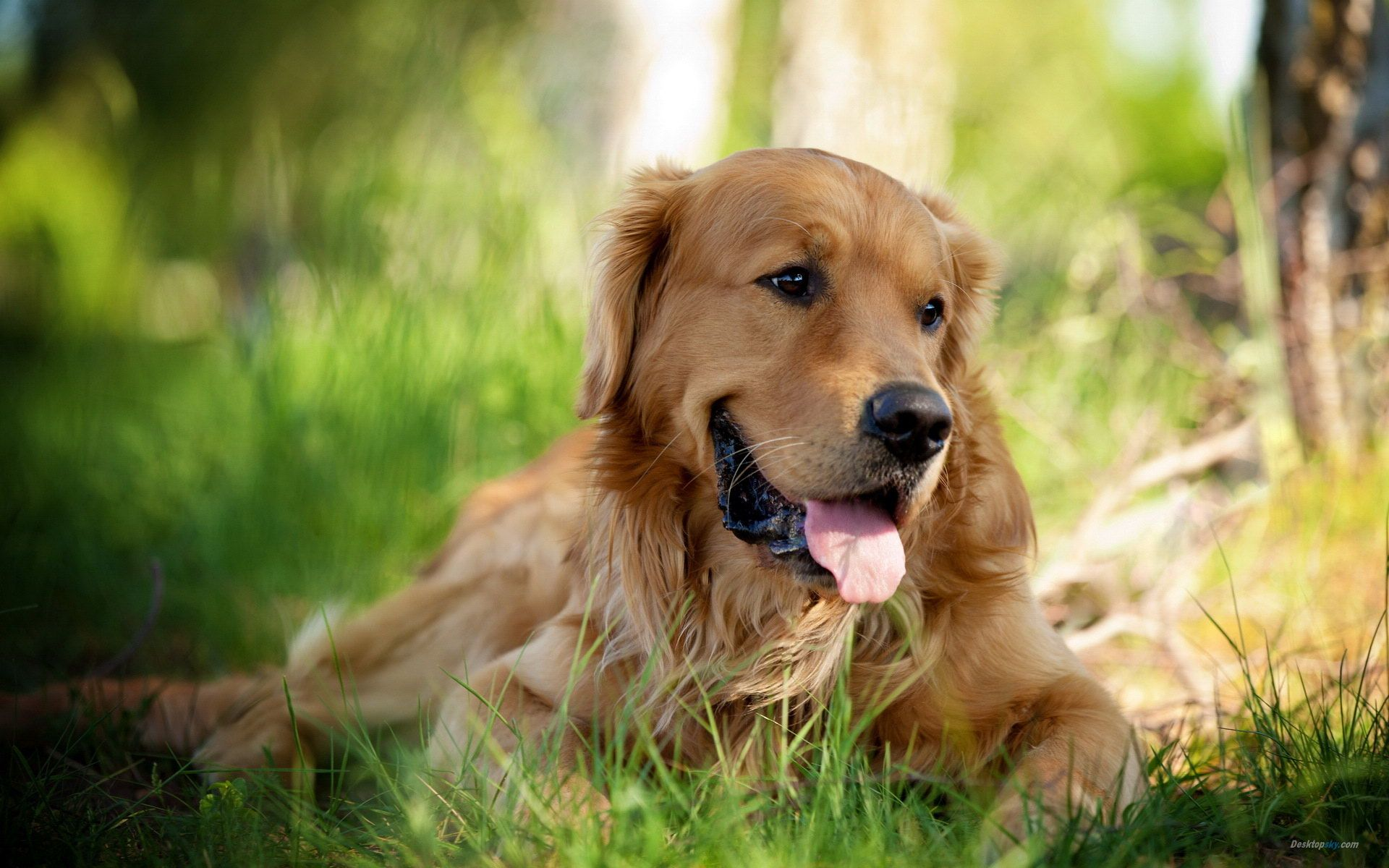 Golden Retriever Dog Hd Desktop Wallpaper High Definition Golden