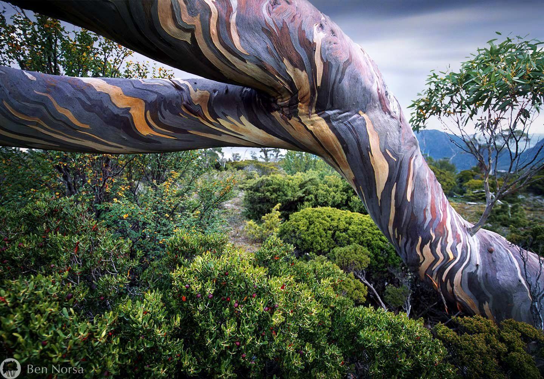 Bark of a Snow Gum tree tree (con imágenes) Plantas