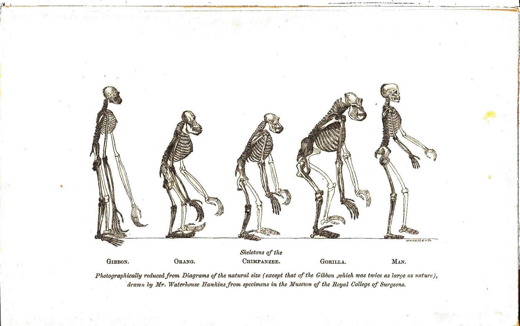 Animal - Non-human primate - Comparative anatomy, skeletal (Huxley ...