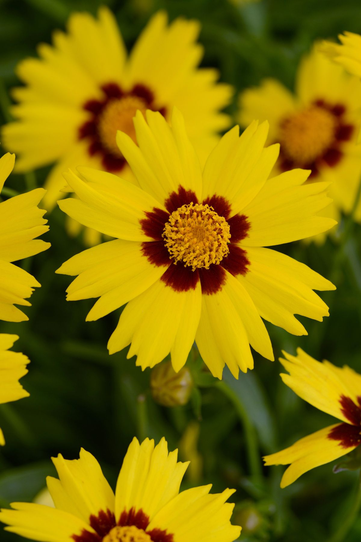 Coreopsis SunKiss from Kieft Seed - Year of the Coreopsis - National