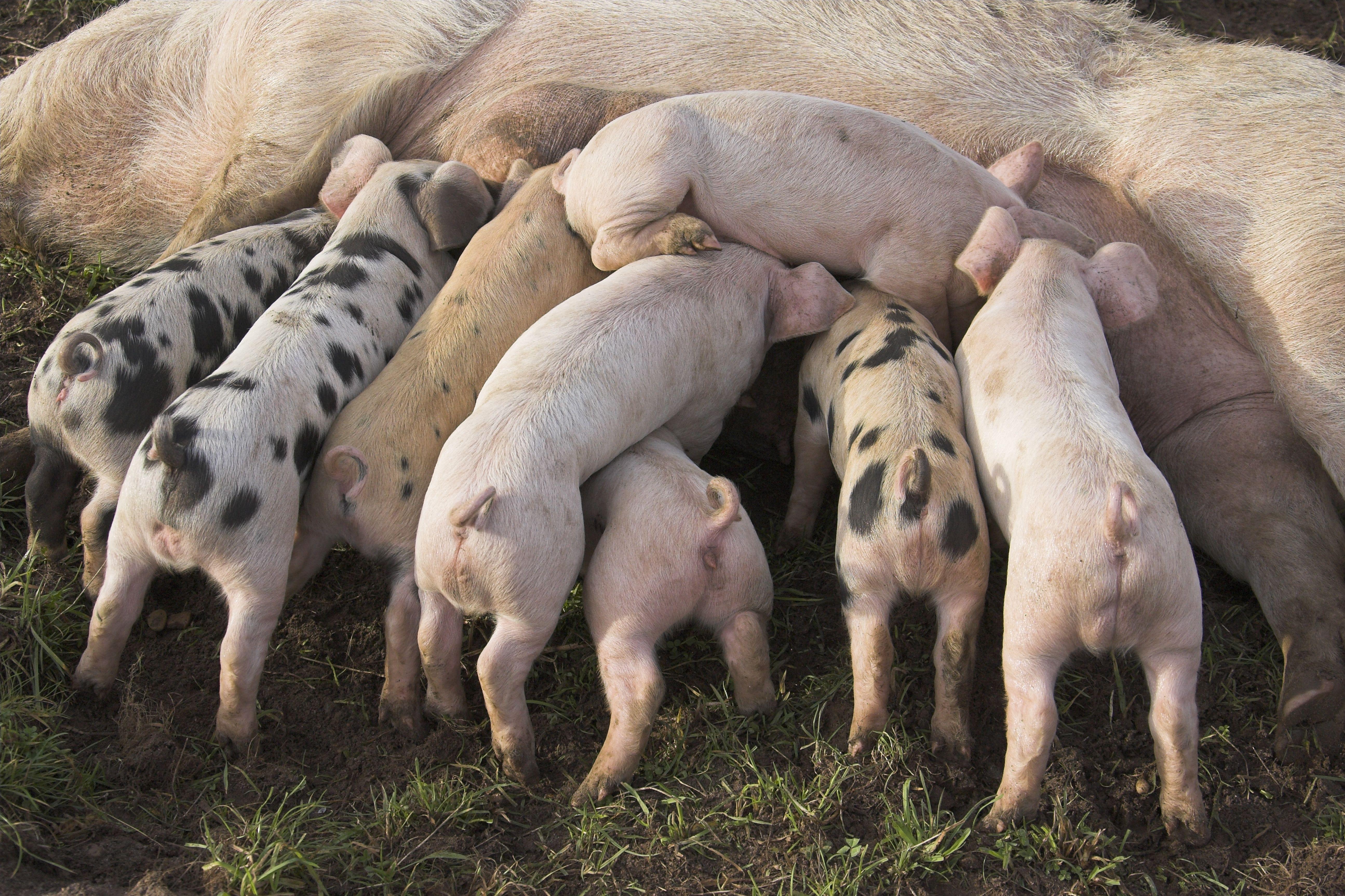 Farrowing Crates Prevent Pigs Turning Rspca Assured Pigs Aren T Kept In Farrowing Crates Www Rspcaassured Org Uk Farm Animal W Animals Cute Animal Photos Pig