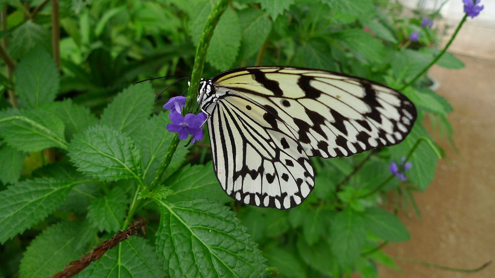 黄金色のさなぎから生まれる 八重山あげは蝶 蝶 と あげ