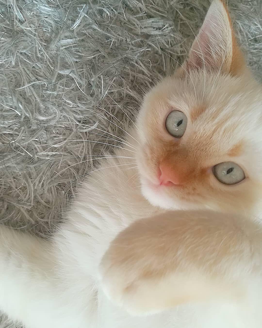 Cucu I Am A Good Boy Fluffykittens Cucu I Am A Good Boy In 2020 Pretty Cats Cute Cats And Kittens Cute Cats