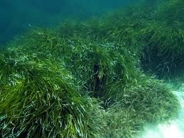 What is #Posidonia? Visit http://greenwichdiving.blogspot.com.es/2014/01/cala-del-mascarat-de-altea.html  to know