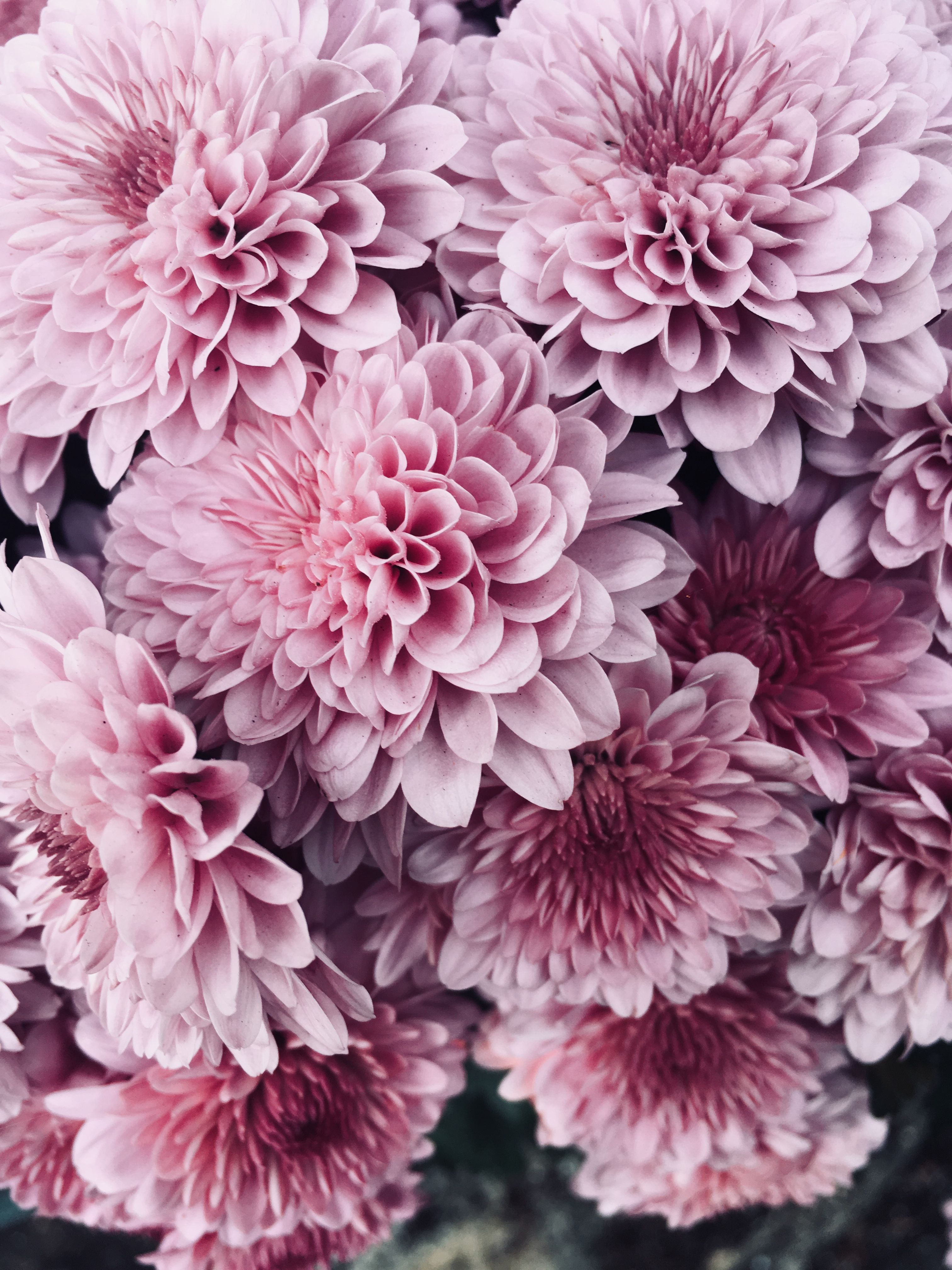 Pink Flowers Background Pink Flowers Background Background Climbingroses Dahlias Flowers Pan In 2020 Pink Flowers Background Flower Backgrounds Pink Flowers
