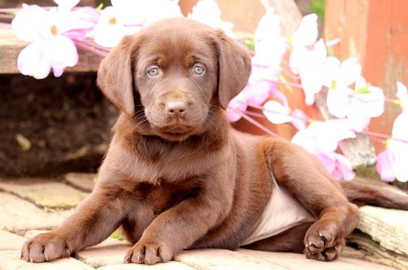 Labrador Retriever Puppy For Sale In Mount Joy Pa Adn 71967 On