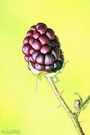 Brombær