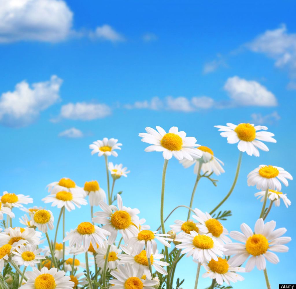The psychology of flowers daisy flowers pinterest flowers the meaning of flowers izmirmasajfo