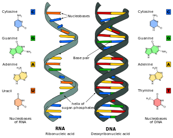 Dna is used as the blueprint for life processes rna is used as a dna is used as the blueprint for life processes rna is used as a messenger malvernweather Choice Image