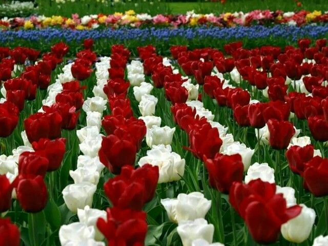 Tulips With Images Flower Wallpaper