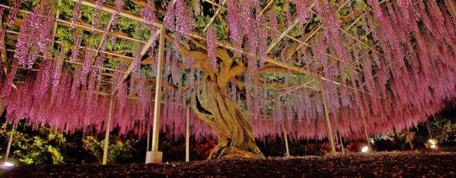 Desktop 1459533698 Jpg 650 254 Beautiful Flowers Garden Specimen Trees Wisteria Tree