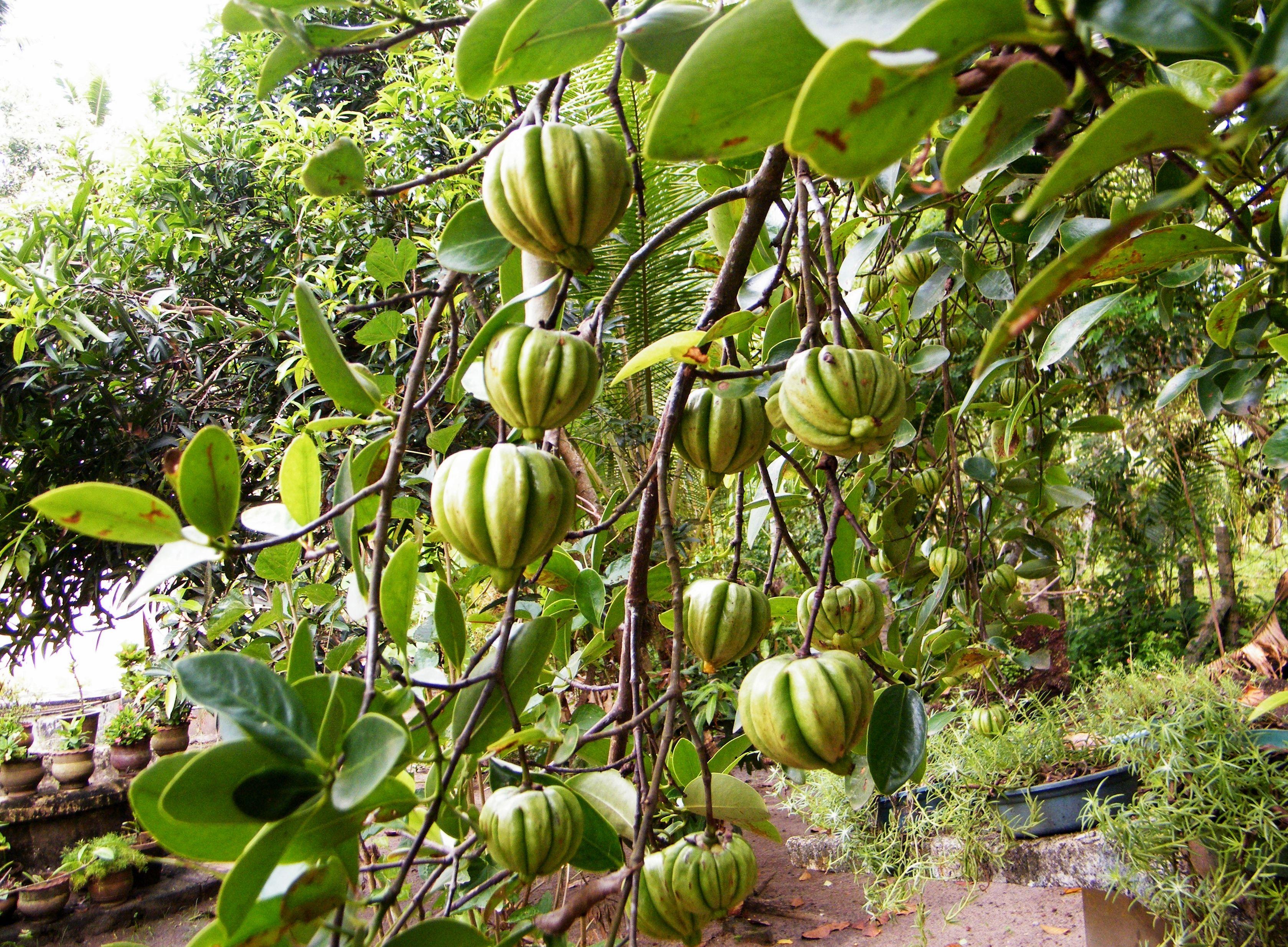 Where To Buy Garcinia Cambogia Fruit Tree Salegoods Pure