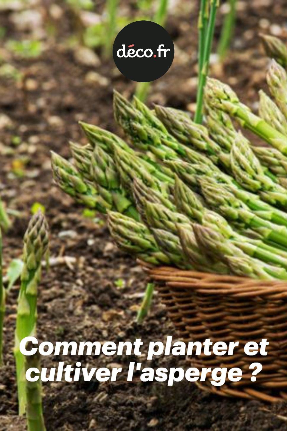 Comment Planter Des Asperges Épinglé par franck sur jardin en 2020 | asperge, potager
