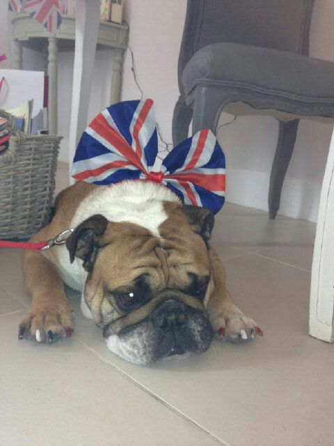 Gordon Ramsays Bulldog Rumpole Dressed Today For The Queens