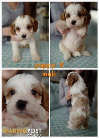 8 Cavoodle Puppies For Sale In Sydney Pick Up Now 6 Left Only