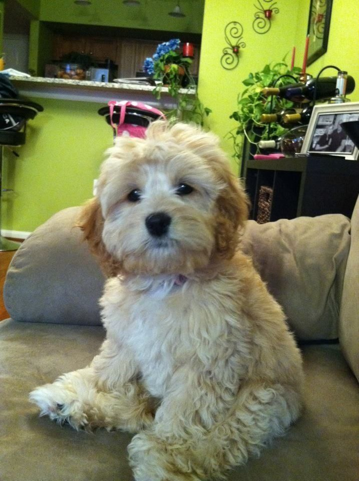 Medium sized brown curly haired poodle mix with hazel eyes