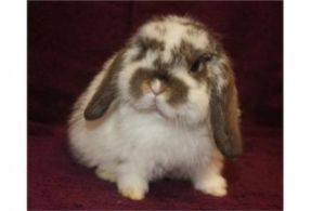 Baby mini lop rabbit. Ah,  some day you will be mine little bunny!