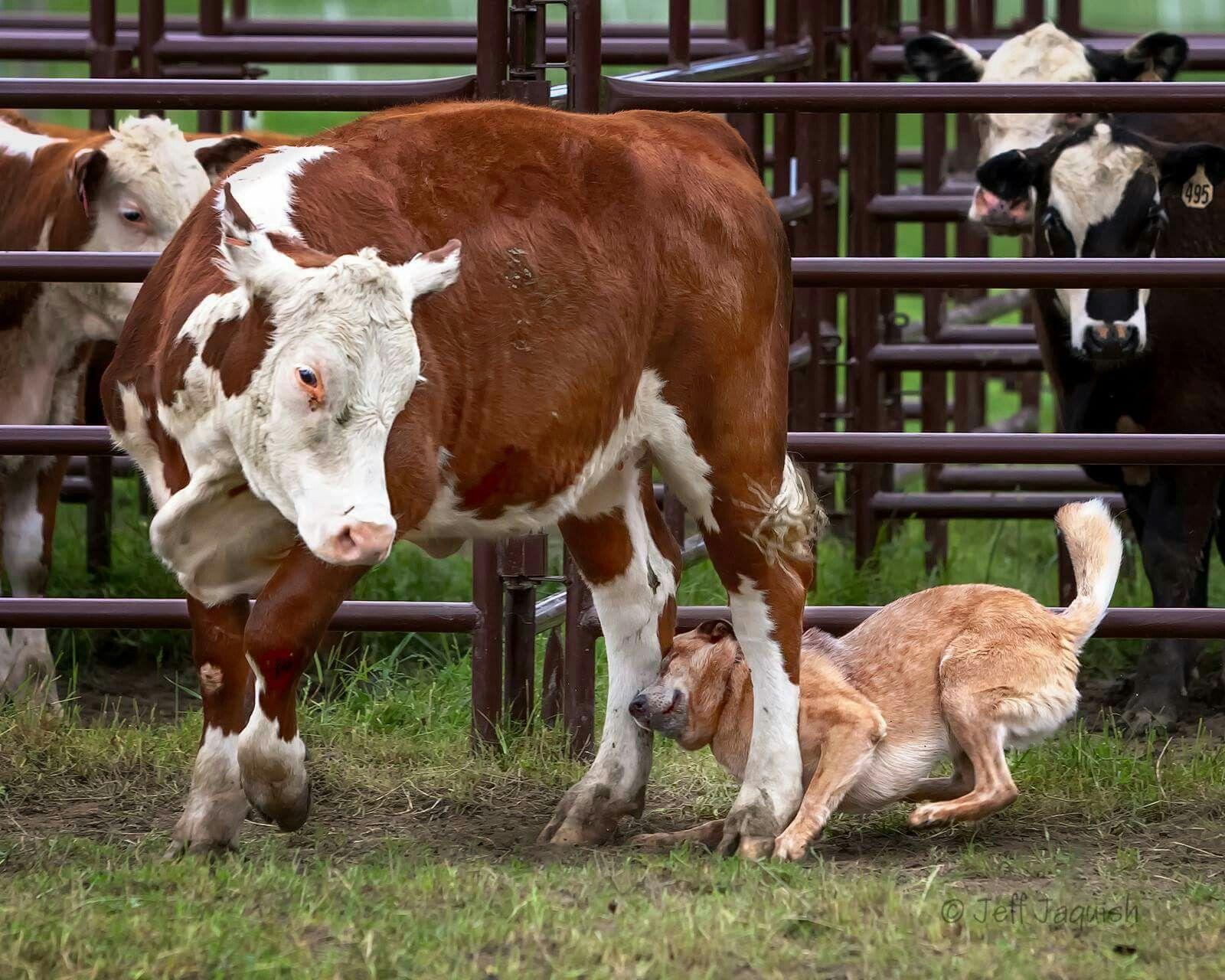 Pin On Australian Cattle Dogs Rule My World