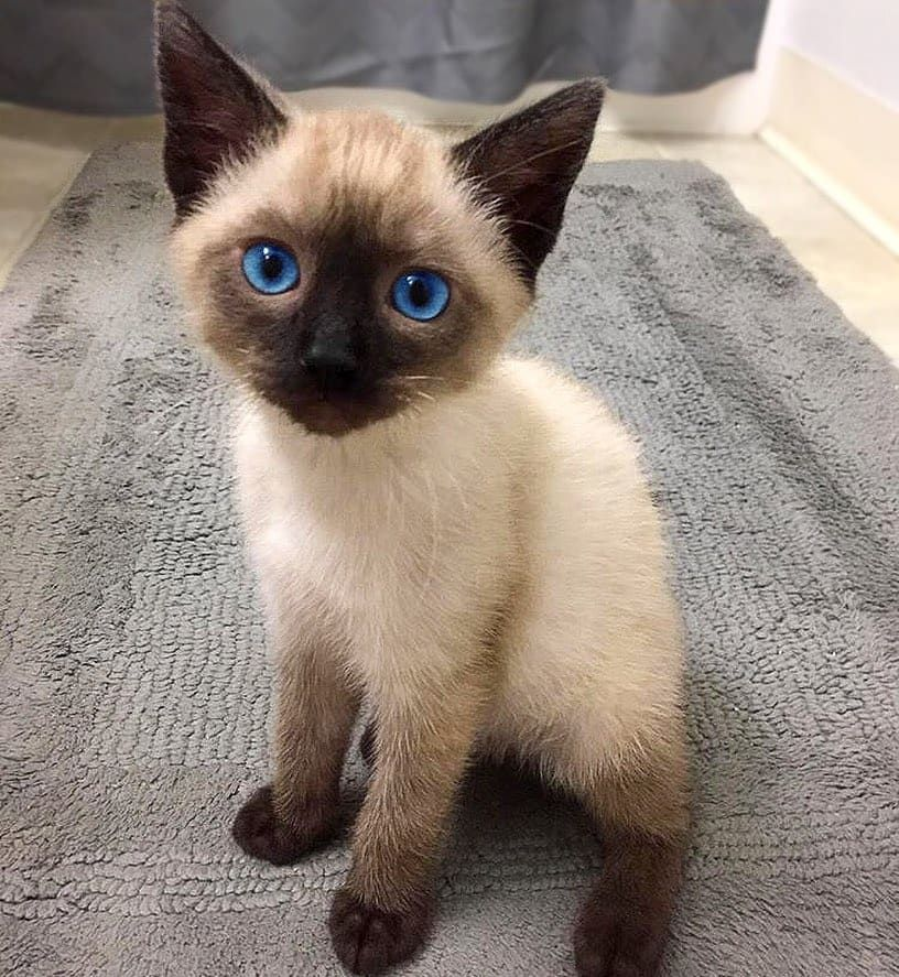 Siamese Cat Breed In 2020 Cat Breeds Siamese Seal Point Siamese