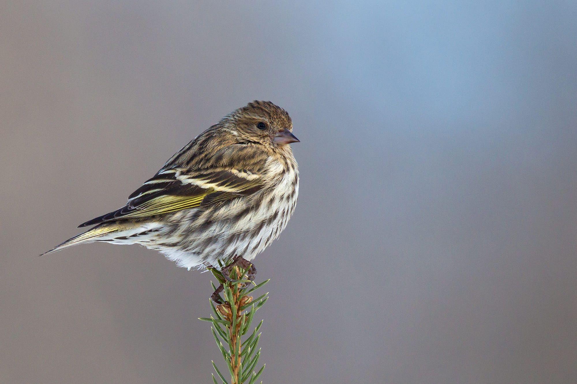 عصفور سسكن الصنوبر نسخة السسكن الاوراسي الامريكية موضوع شامل طيور العرب Animals Bird