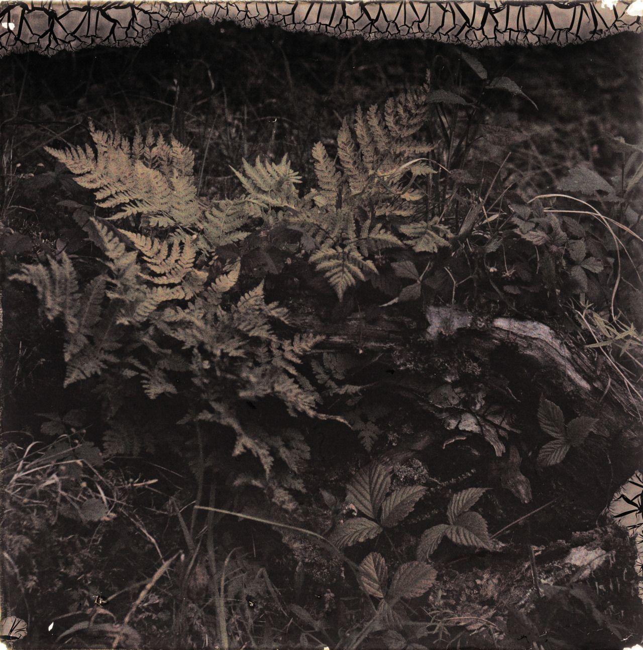 Hanna Resvoll-Holmsen - Blomst, Bregner, Målselv 1912