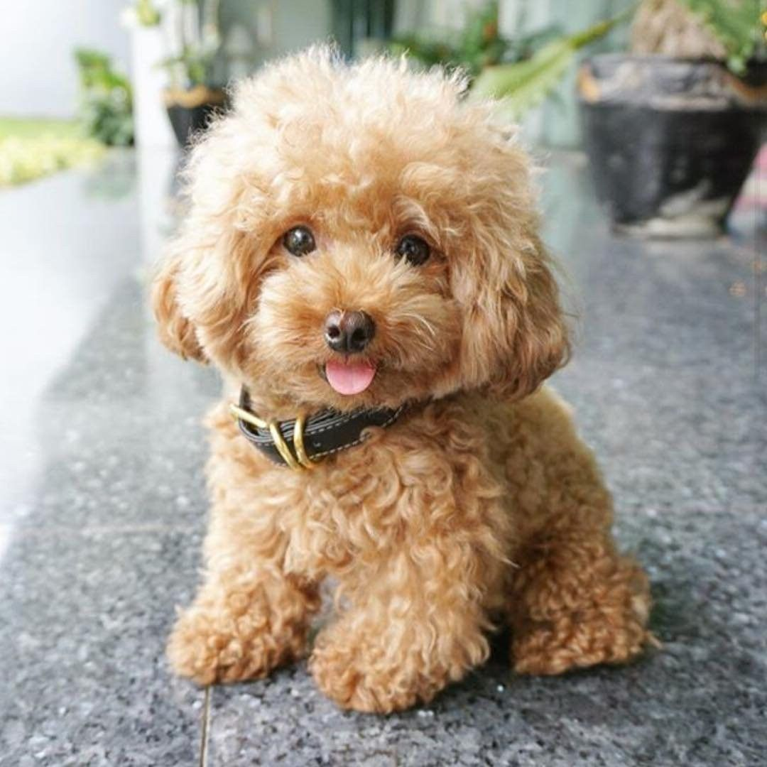Poodle Puppy Poodle Puppy Dog Toy Cute Animals Cute Baby