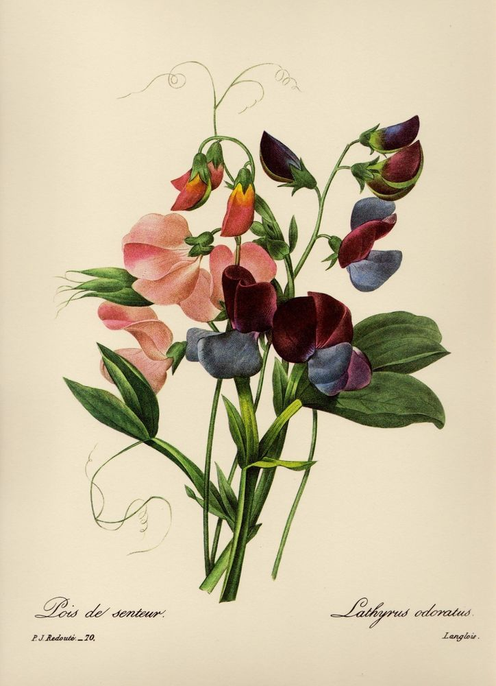 Botanical Print Sweet Pea Gallery Wall Art Cottage Decor Pjr 1053