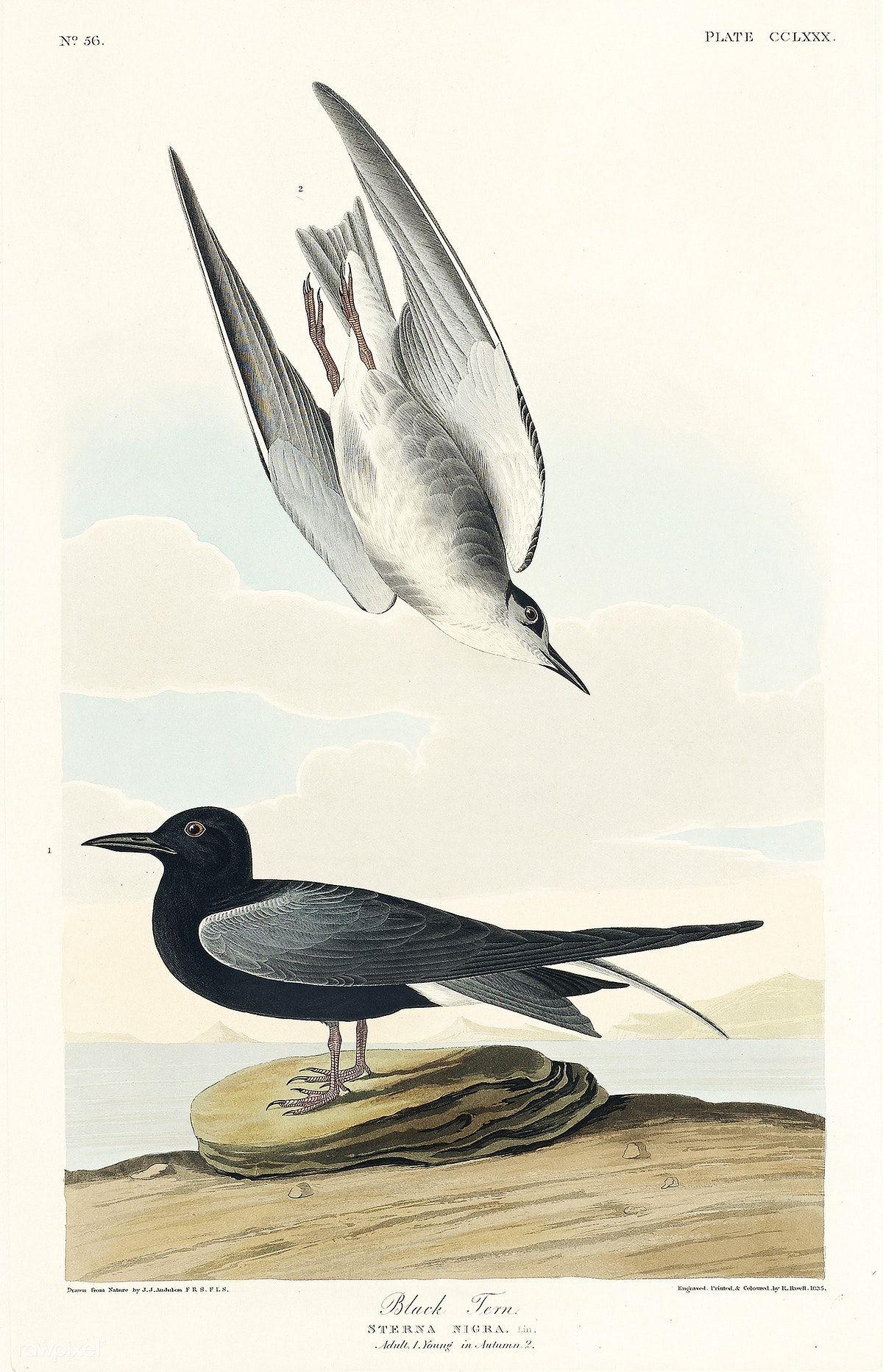 Print John Audubon Nature Birds Of America 17