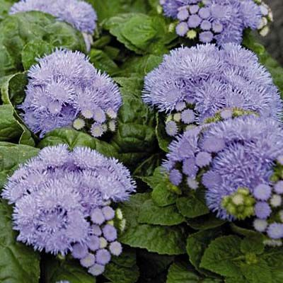 Ageratum Blue Danube F1 Flower Seeds Packets Porch Flowers Flower Seeds