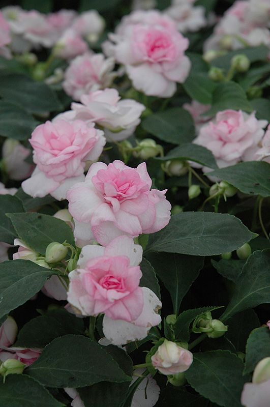 Fiesta Apple Blossom Double Impatiens Impatiens Fiesta Apple
