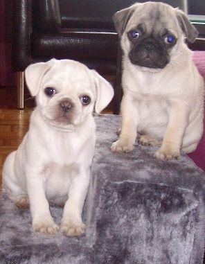 Cute White Pug Puppy Pugs Cute Pug Puppies Cute Pugs Pugs