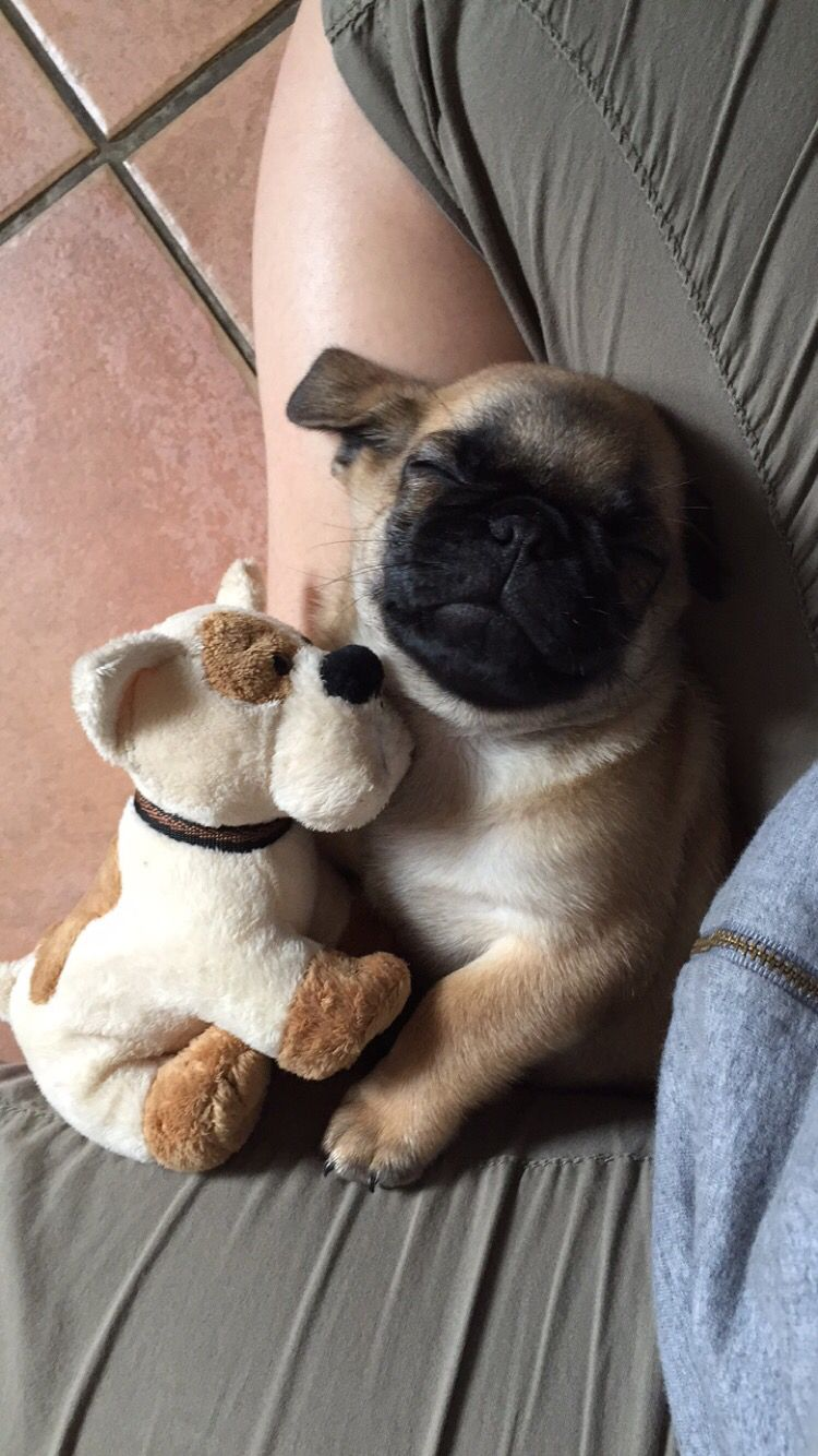 Mr Pug Babypug 2month Baby Pugs Pugs Dog Best Friend
