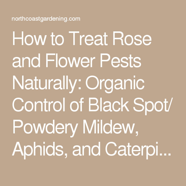 How To Treat Black Spot On Roses Naturally